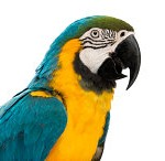 BG_Macaw_1